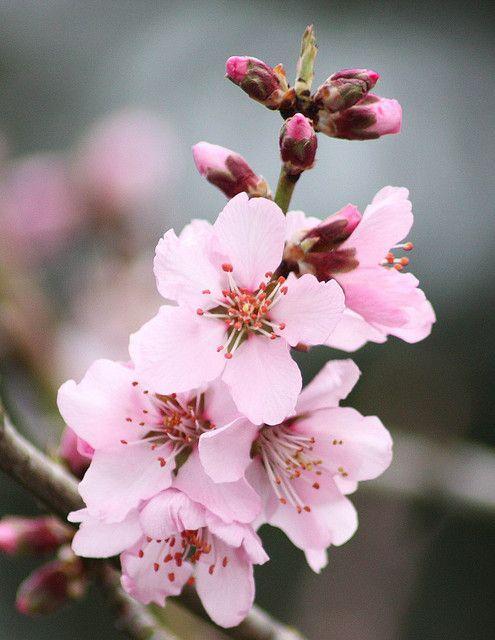Flor de cerezo/cherry blossom
