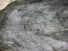 age of tree stump