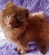 Pomeranian | Puppies for Sale