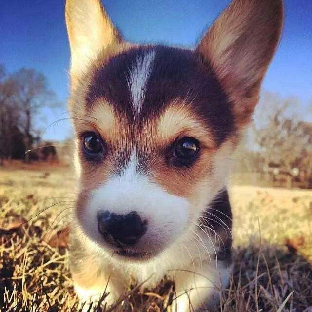A cute Corgi puppy!