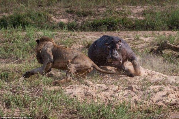 La batalla entre leones vs hipopotamos comienza, solo uno de los dos será el rey de la selva. No te pierdas este maravilloso documental onlne. El increible mundo animal, en donde leones e hipopotamos se disputan el territorio en un rio de la selva africana