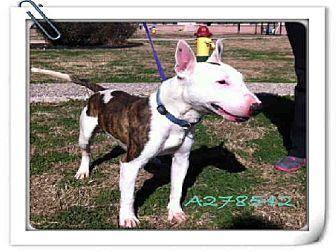 San Antonio, TX - Bull Terrier. Meet TIGER a Dog for Adoption.