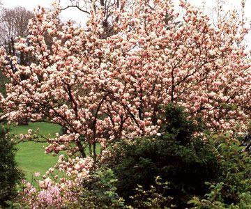 top 25 best magnolia bush ideas on pinterest magnolia trees landscaping trees and trees to plant. Interior Design Ideas. Home Design Ideas