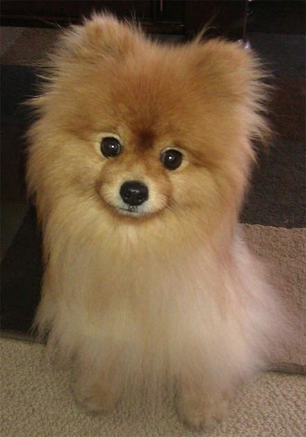 pomeranian california 1000 ideas about pomeranian rescue on pinterest teddy 7957