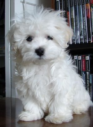 Maltese....awww such sweet dogs.
