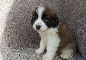 saint bernard puppies for sale price