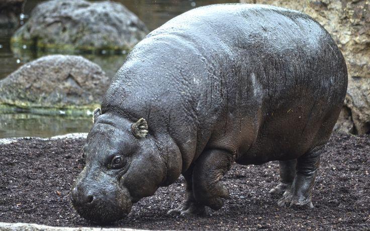 Hipopótamo pigmeo en BIOPARC   Pygmy hippopotamus   www.bioparcvalencia.es