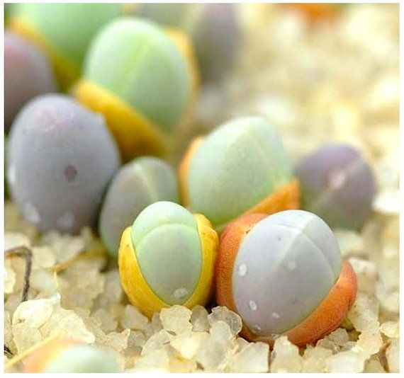 Gibbaeum Comptonii - Exotic Succulent - Rare Ice Living Rocks - Mesembs Seeds