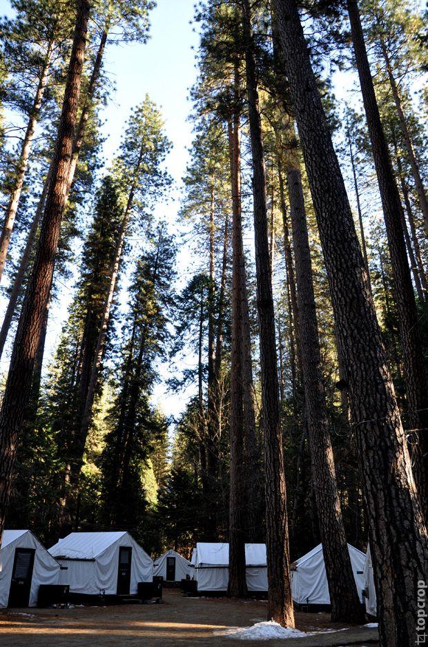 Национальный парк Йосемити в США (Yosemite National Park): высокие сосны   TopCrop.ru