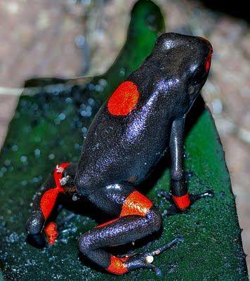 Harlequin Dart Frog - Bullseye