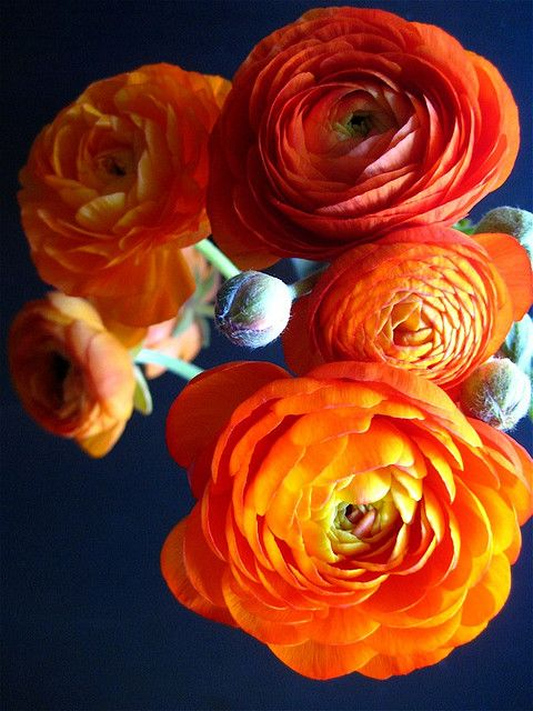 Orange ranunculus --THIS is my all-time favorite flower.  Can we work this into our bridal bouquets?