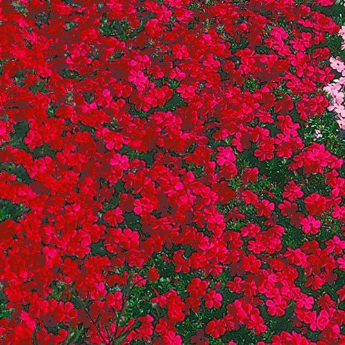 Red Creeping Phlox Red Perennials Ground Cover Plants