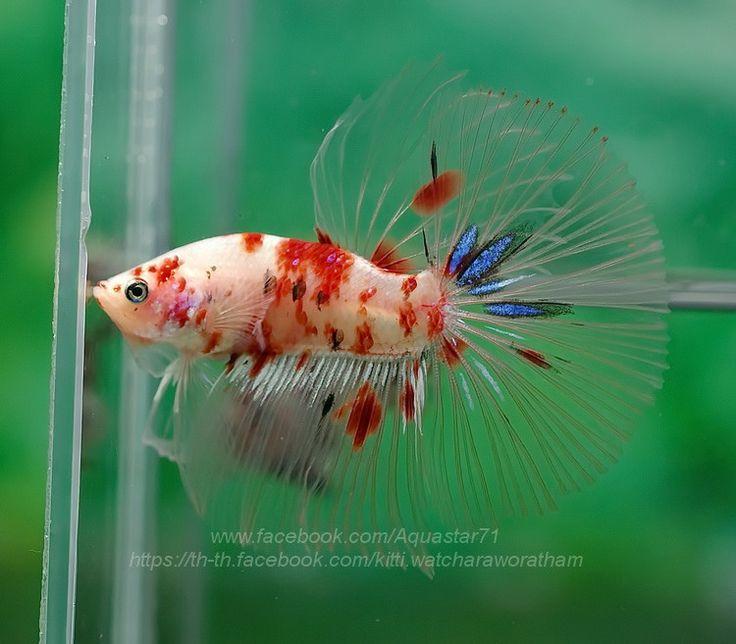 1455 best images about fancy bettas on pinterest for Fancy koi fish