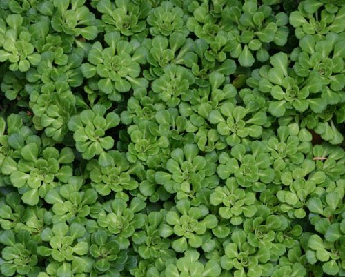 Saxifraga 'Primuloides' / Minature London Pride - evergreen groundcover for dry shade