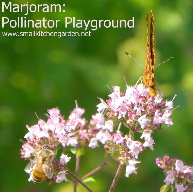 Pair of pollinators on marjoram