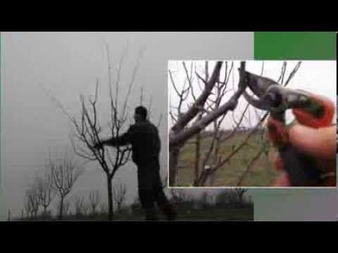 Szilvafa metszése
