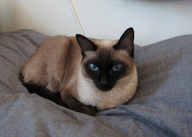Choosing The Right Name For A Siamese Cat Can Be A Difficult
