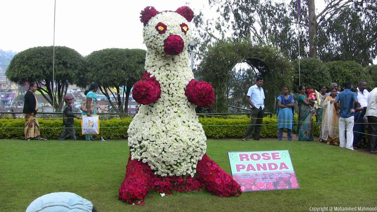 Rose Panda at Rose Garden - Ooty, Tamil Nadu, India.