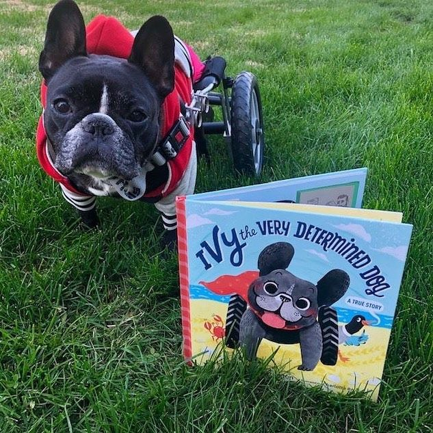 Ivy The Very Determined Dog French Bulldog Rescue French
