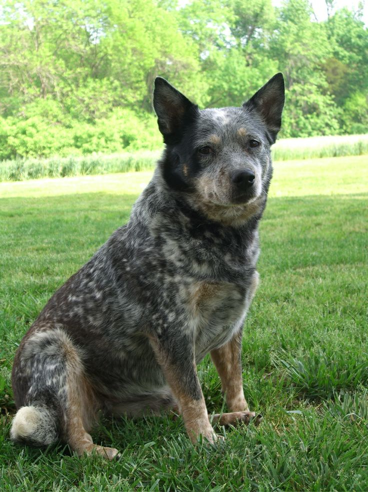 This is OTIS's mommy... Tazz.jpg Cattle dogs rule