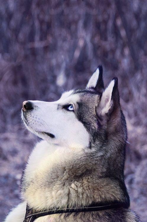 Love huskies!
