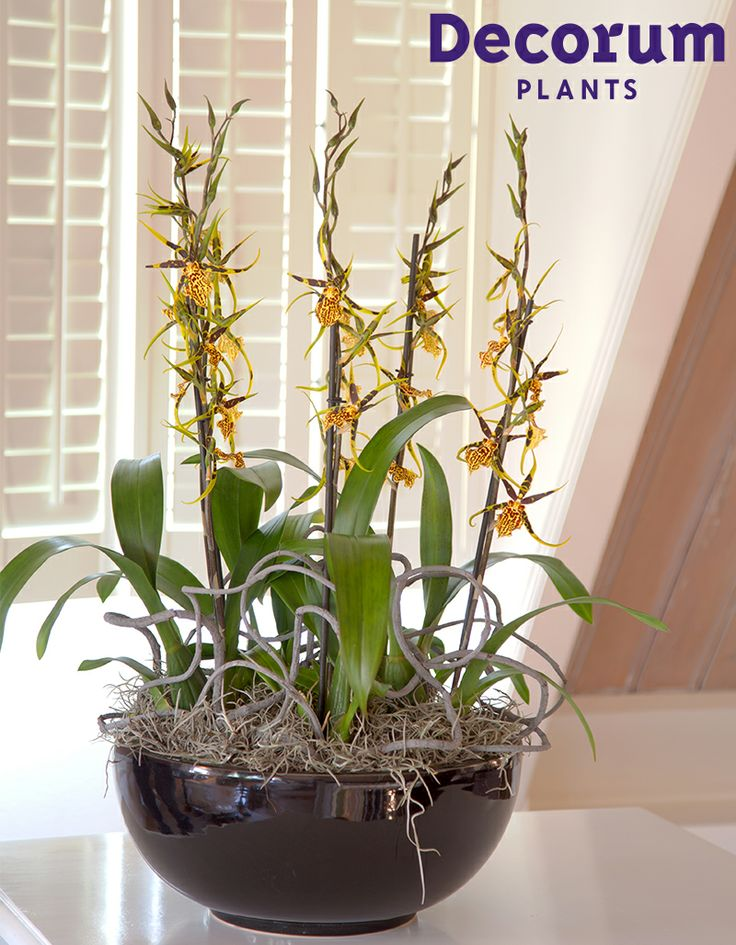New! Cambria Mystic Maze #Decorum Innovation of 2013   Grower: Duijn-Hove