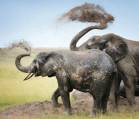 Great capture. .!!   From : @daily_elephant.lovers -  - . . For info about promoting your elephant  art or crafts send me a direct message @elephant.gifts or email elephantgifts@outlook.com  . Follow @elephant.gifts for beautiful and inspiring elephant  images and videos every day! . #elephant #elephants #elephantlove