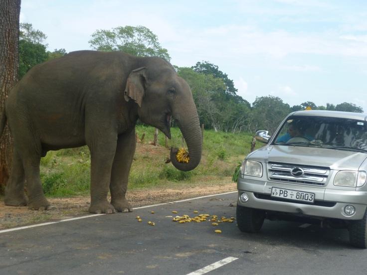friendly elephants on the road to Arugam Bay