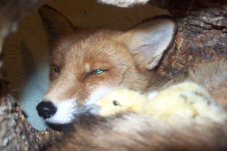 Da lachen ja die Hühner ! ! der zahme Fuchs Lisar und die Hühnerküken von Regina Krautwurst