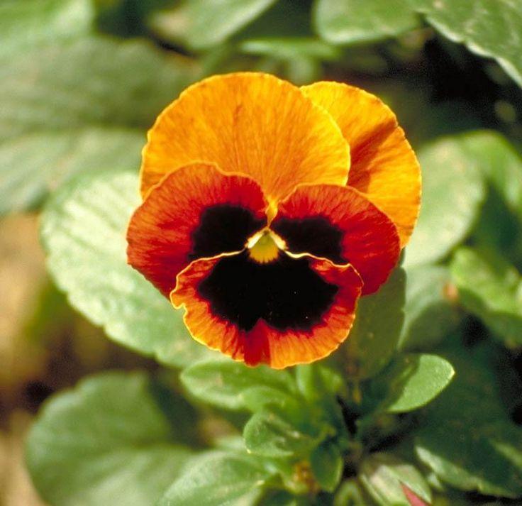 Hercai (Menekşe) Çiçeği