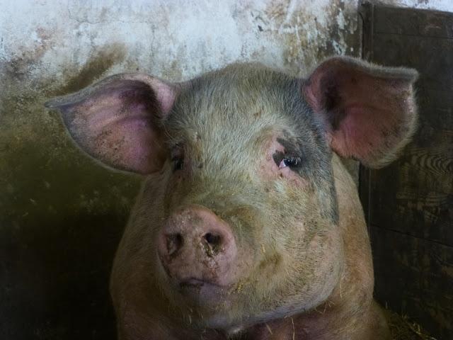 Hello pig.
