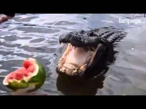 lancia un'anguria al coccodrillo, la sua forza è devastante