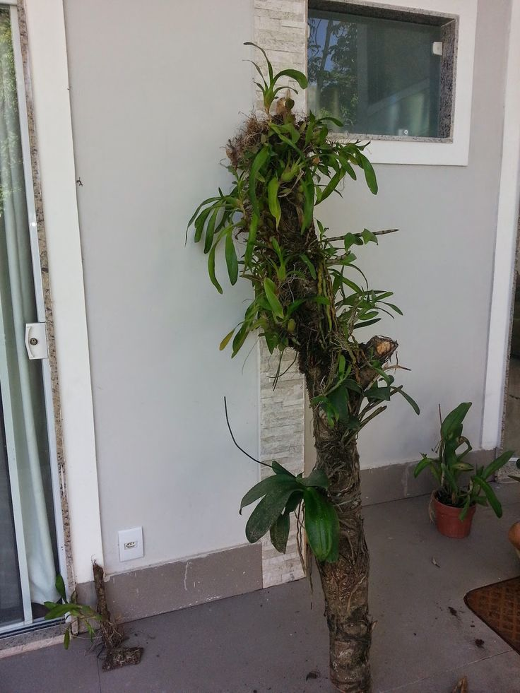 Aloha   Há alguns meses estou transferindo as minhas orquídeas para a casa nova.   Algumas Phal  e Laelia  Já foram transplantadas ao lon...