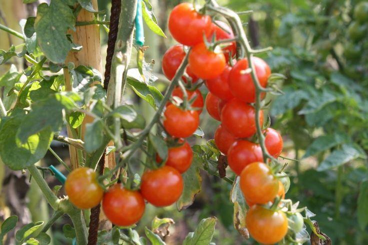 """Lo sapevate che in origine il #Pomodoro era di colore giallo, da cui la definizione di """"pomo d'oro""""?! Ecco un articolo con tante informazioni utili sull'origine e le caratteristiche di questo ortaggio"""