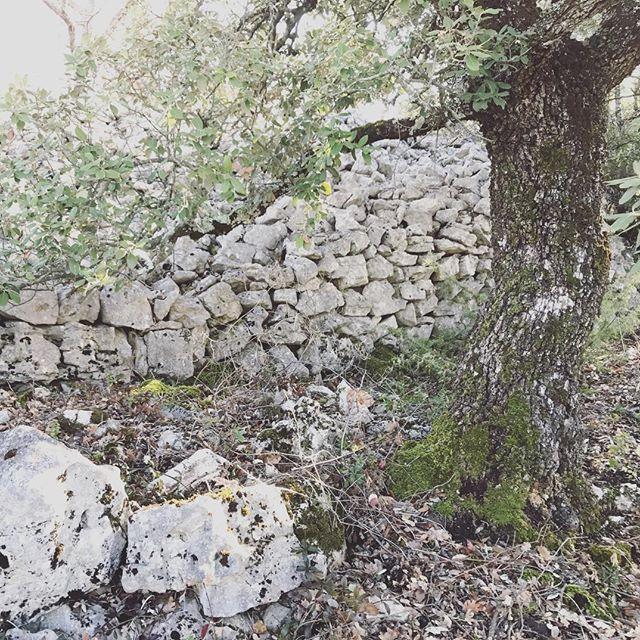 My favorite #quercus#provence#garrigue#landscape#garden#design#aureliegueniffey