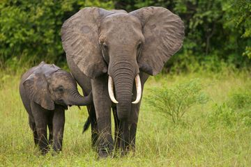 elephant species, conservation