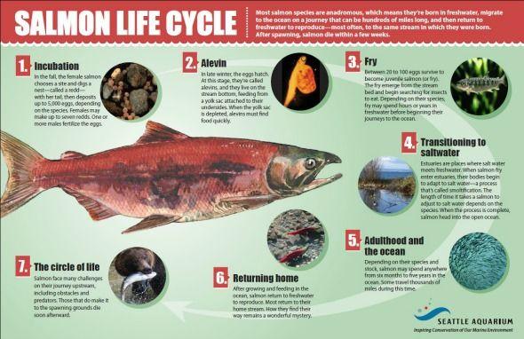 Salmon life cycle infographic
