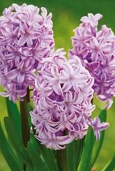 Hyacinth Splendid Cornelia- Bulbs