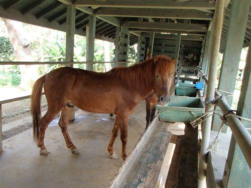 Miyako pony. 宮古島熱帯植物園には、宮古馬が飼われていました。 |
