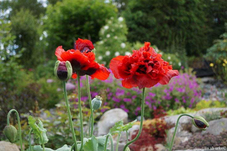 -more poppies