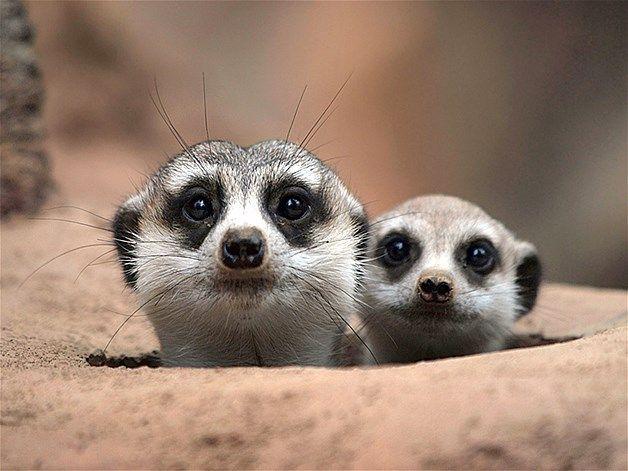 Image: Meerkats (© Irawan Subingar/Caters) Mother and baby meerkats play peek-a-boo with a photographer.