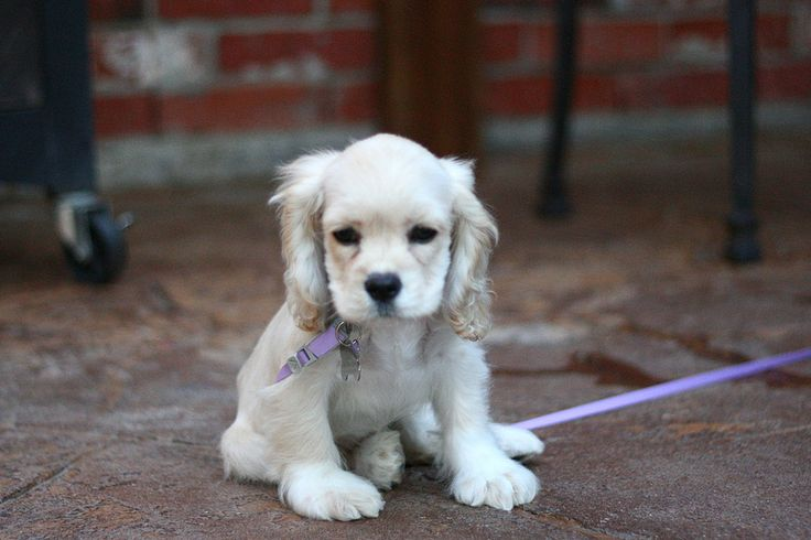 The 30 Cutest Cocker Spaniel Puppies You'll Ever See