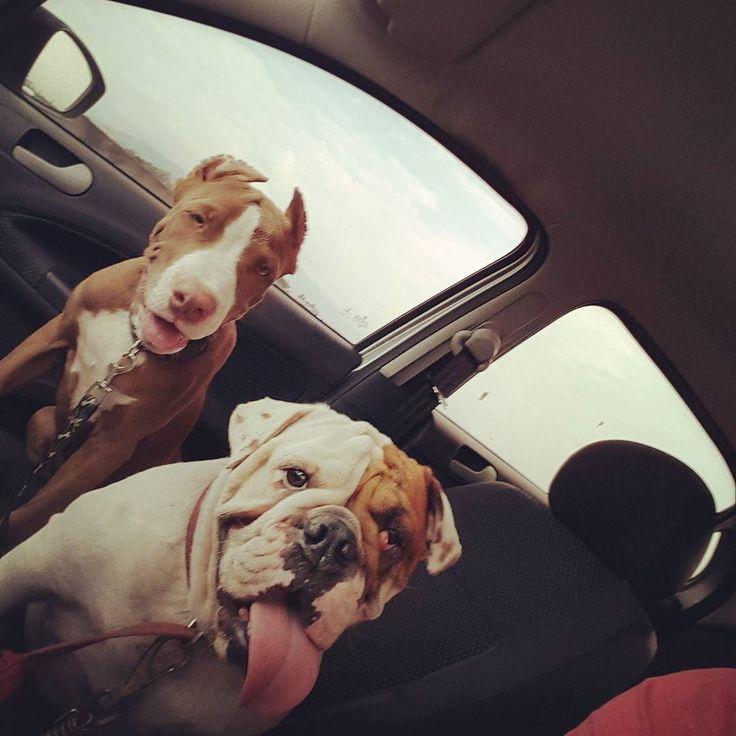 Levar a turma para o banho. #pitbullgram #pitbully #pitbull #pitbulls #pitbullsofig #brasilpet #cachorro #rednose #pet #petlovers #lovepet #bulldogingles #bulldog