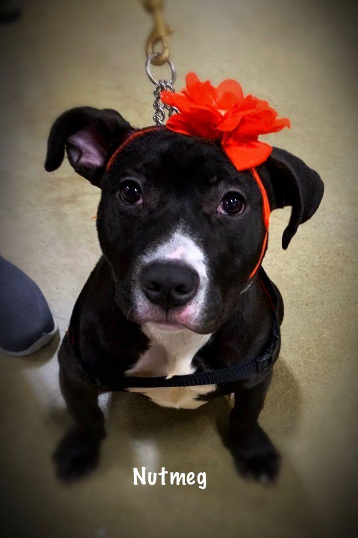Adopt Nutmeg On Petfinder In 2020 Pitbull Terrier Bull Terrier Mix Dog Adoption
