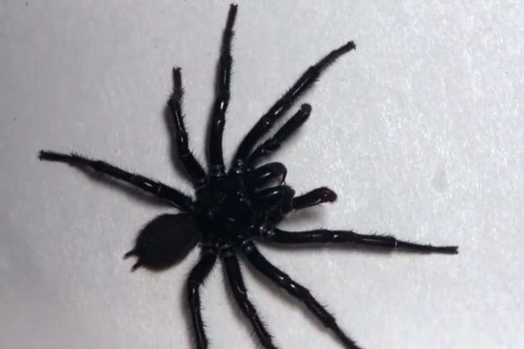Giant Australian funnel web spider gets named 'Colossus'     – CNET http://www.charlesmilander.com/news/2018/02/giant-australian-funnel-web-spider-gets-named-colossus-cnet/ from 0-100k followers, want to know? http://amzn.to/2hGcMDx