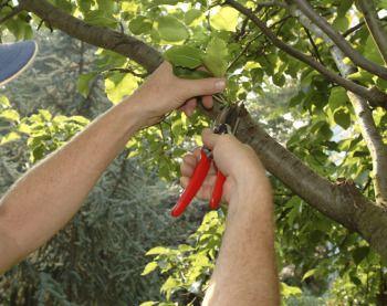 http://www.sophisticatededge.com/when-do-you-prune-fruit-trees.html