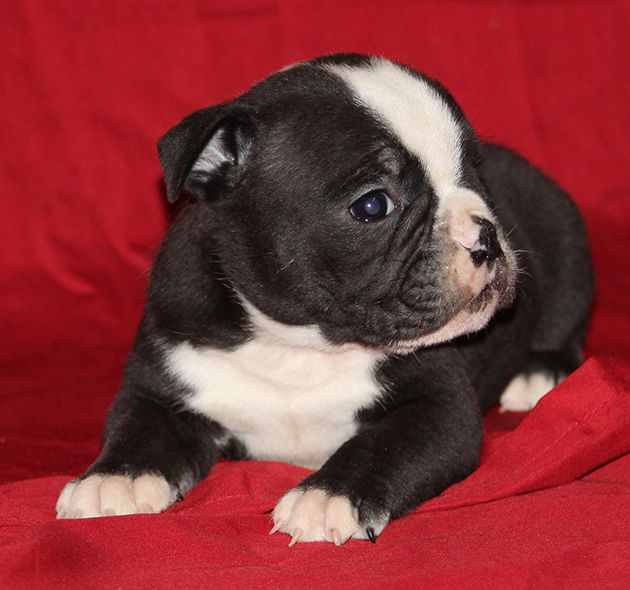 Available Olde English Bulldogges & English Bulldogs for