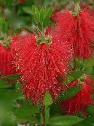 Le callistemon, arbuste typique des jardins méditerranéens, vous étonnera par sa floraison abondante et originale. Ce petit arbuste décoratif produit en effet des fleurs en forme de goupillons qui lui ont valu le surnom de 'rince-bouteille'. par Audrey