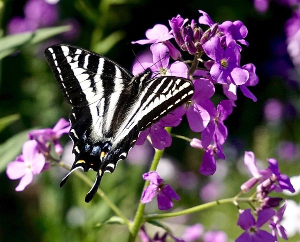 A black and white butterfly at rest with wings spread on a purple flower