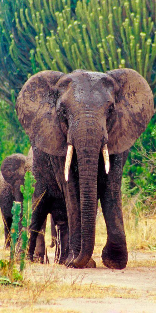 Queen Elizabeth National Park is Uganda's most visited national park for good reason! Uganda travel guide & tips: goafrica.about.com/library/bl.mapfacts.uganda.htm